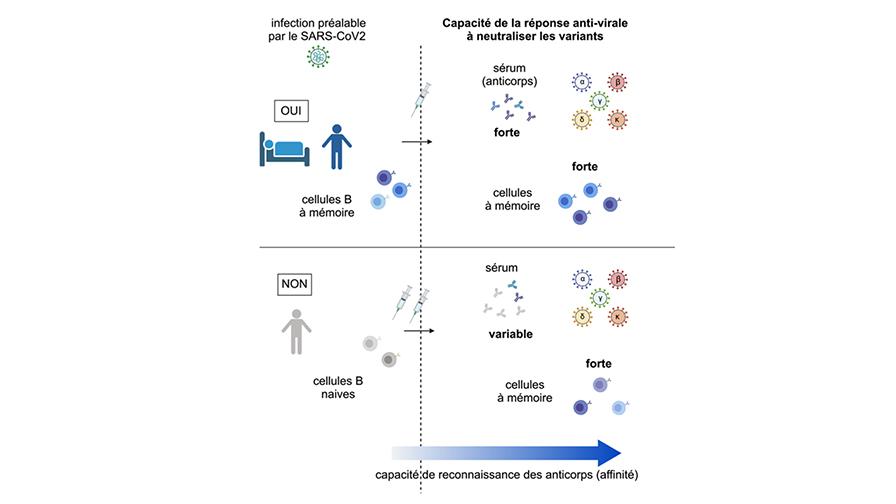 Etude sur l'efficacité de la mémoire immunitaire après vaccination ARNm